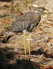 The dikkop (burhinus capensis), a beautiful bird with his bright yellow eyes