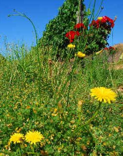 November 2008: wild flowers and a high stand of weed in Bein's vineyard